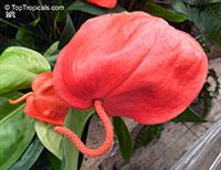 Anthurium scherzerianum, Flamingo Flower  Click to see full-size image