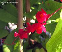 Antigonon leptopus, Mexican Coral Vine, Coral Creeper, Honolulu Creeper, Corallita, Chinese Love Vine  Click to see full-size image