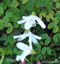 Bauhinia natalensis, Natal Neat's Foot, Dainty Bauhinia  Click to see full-size image
