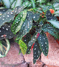 Begonia maculata, Clown Begonia, Polka Dot Begonia, Wright's Spotted Begonia  Click to see full-size image