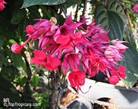 Clerodendrum speciosum, Clerodendrum delectum, Bleeding heart, Clerodendron  Click to see full-size image