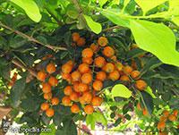 Duranta erecta, Duranta repens, Duranta, Honey Drops, Golden Dewdrop, Pigeon Berry  Click to see full-size image