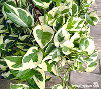Epipremnum aureum, Epipremnum pinnatum var. Aureum, Scindapsus aureus, Pothos aureus, Pothos, Money Plant  Click to see full-size image