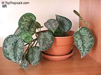 Scindapsus pictus Argyraeus, Epipremnum pictum Argyraeum, Satin Pothos, Silk Pothos, Silver Philodendron   Click to see full-size image
