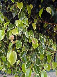 Ficus benjamina, Benjamin Fig, Benjamin Tree  Click to see full-size image