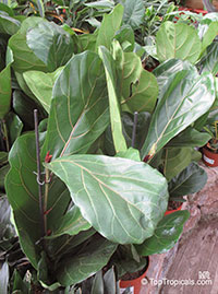 Ficus lyrata, Fiddle-Leaf Ficus  Click to see full-size image