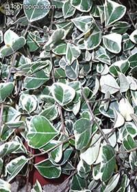Ficus natalensis subsp. leprieurii, Ficus triangularis, Triangle Ficus, Triangle Leaf Fig Tree  Click to see full-size image