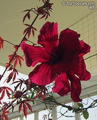 Hibiscus acetosella - African Cranberry Hibiscus, red leaves  Click to see full-size image