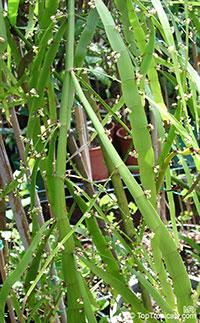 Homalocladium platycladum, Muehlenbeckia platyclada, Centipede Plant, Tapeworm Plant, Ribbonbush  Click to see full-size image