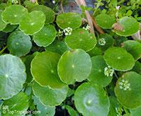 Hydrocotyle umbellata, Manyflower Marshpennywort, Dollarweed, Water Pennywort  Click to see full-size image