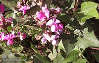 Lablab purpureus, Dolichos lablab, Hyacinth bean  Click to see full-size image