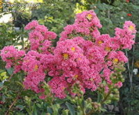 Lagerstroemia indica, Crape Myrtle, Crepe Myrtle  Click to see full-size image