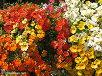 Nemesia sp., Nemesia  Click to see full-size image