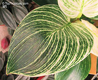 Philodendron birkin - Striped Delight  Click to see full-size image