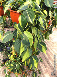 Philodendron scandens Mediopictum Brazil  Click to see full-size image