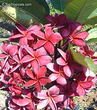 Plumeria rubra Pink, Frangipani, Temple tree, Calachuchi  Click to see full-size image