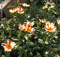 Portulaca oleracea , Common Purslane  Click to see full-size image