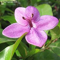 Pseuderanthemum laxiflorum, Shooting Star, Star Flower, Furple False Erantheum, Dazzler  Click to see full-size image