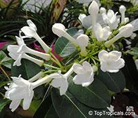 Stephanotis floribunda, Bridal Bouquet, Madagascar Jasmine, Wax flower, Chaplet flower, Floradora, Hawaiian Wedding flower  Click to see full-size image