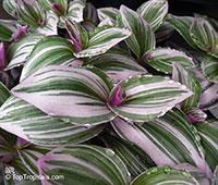Tradescantia sp., Tradescantia, Spiderwort  Click to see full-size image
