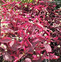 Alternanthera dentata, Joseph's Coat, Calico plant, Copperleaf, Bloodleaf, Joyweed, Parrot leaf  Click to see full-size image