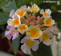 Lantana camara, Bush Lantana  Click to see full-size image