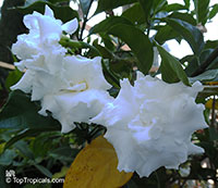 Tabernaemontana divaricata Flore Pleno, Hollarhena densiflora, Tabernaemontana coronaria, Crape Jasmine, Carnation of India, East Indian Rosebay, Adam's Apple, Nero's Crown, Coffee Rose, Crepe Gardenia  Click to see full-size image