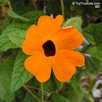 Thunbergia alata, Black eye Susan  Click to see full-size image
