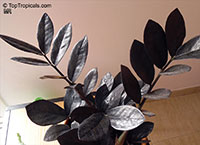 Zamioculcas x Black Dragon - Black ZZ Plant  Click to see full-size image