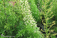 Asparagus densiflorus, Protasparagus densiflorus, Emerald Asparagus Fern, Fox Tail  Click to see full-size image