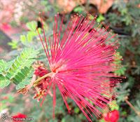 Calliandra californica, Baja Fairy Duster  Click to see full-size image