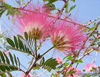 Calliandra sp., Powder Puff  Click to see full-size image