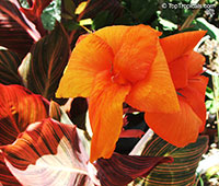 Canna indica, Canna x generalis, Canna Lily, Indian Shot  Click to see full-size image