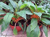 Chlorophytum orchidantheroides, Chlorophytum amaniense, Chlorophytum orchidastrum, Mandarin Plant, Fire Flash, Fire Glory  Click to see full-size image