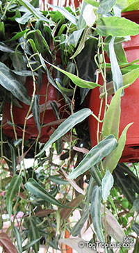 Cissus amazonica, Amazonian Vine  Click to see full-size image