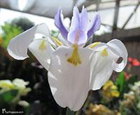 Dietes sp., Wild Iris, Fairy Iris, African Iris  Click to see full-size image
