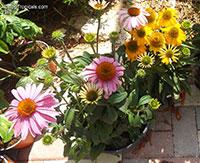 Echinacea purpurea, Rudbeckia purpurea, Purple Coneflower, Kim's Knee High  Click to see full-size image