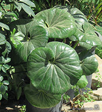 Farfugium japonicum, Leopard Plant, Green Leopard Plant  Click to see full-size image