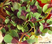 Oxalis sp., Shamrock, Wood Sorrel  Click to see full-size image