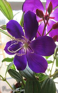 Tibouchina lepidota , Dwarf Princess Flower, Glory Bush, Mayo  Click to see full-size image