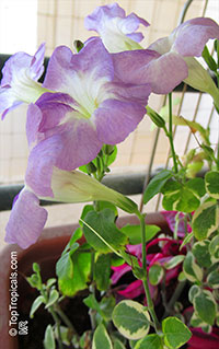 Asystasia gangetica, Chinese Violet, Creeping Foxglove, Ganges Primrose  Click to see full-size image