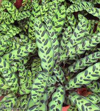 Goeppertia insignis, Calathea lancifolia, Calathea insignis, Rattlesnake Plant  Click to see full-size image