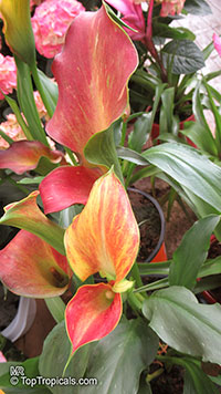 Zantedeschia sp., Arum Lily, Calla Lily  Click to see full-size image