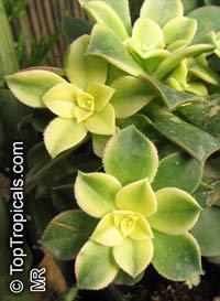 Aeonium sp., Aeonium  Click to see full-size image