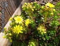 Aeonium sedifolium, Dwarf Aeonium  Click to see full-size image