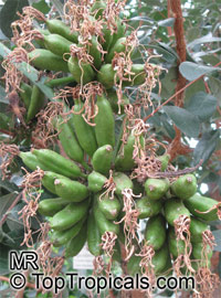 Agave sp., AgaveClick to see full-size image