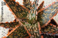 Aloe sp., Aloe