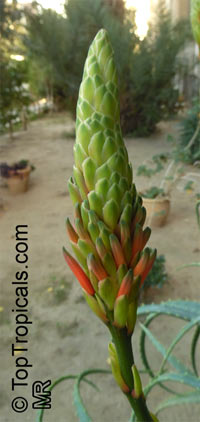 Aloe arborescens, Tree Aloe, Krantz Aloe 