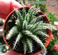 Aloe haworthioides, Haworthia-leaved Aloe  Click to see full-size image