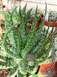 Aloe sp., AloeClick to see full-size image
